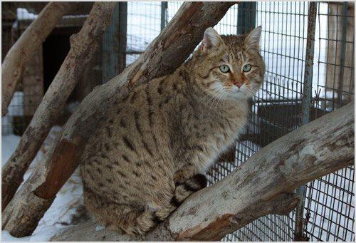 Степной кот в зоопарке