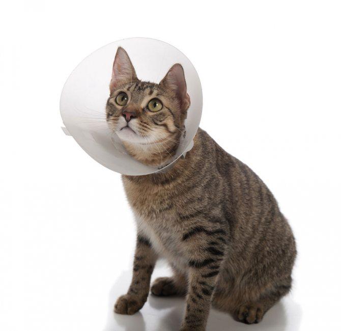 Стерилизация кошки - 100% метод борьбы с пиометрой