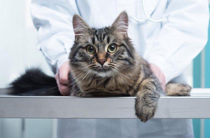 Стерилизованная кошка более спокойная