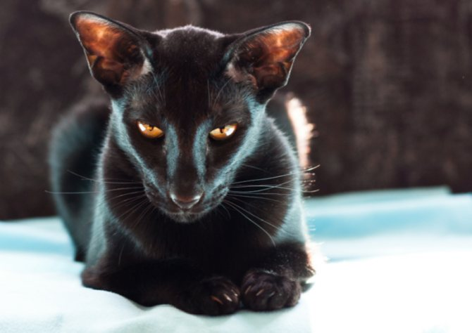 Стоит ли брать в квартиру ориентальную кошку