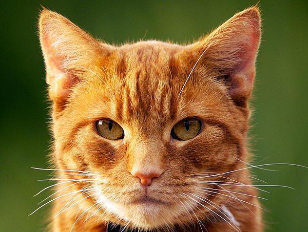 стоп стресс для кошек таблетки