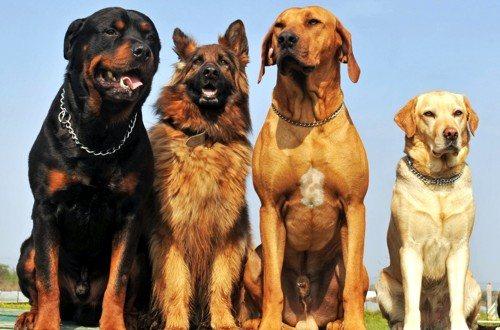 сторожевые собаки для охраны
