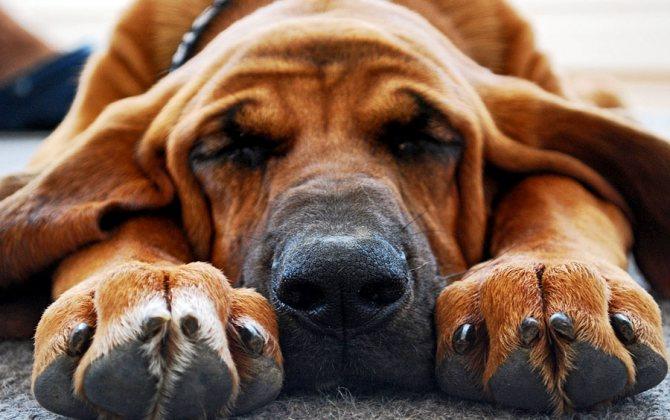 Стремление меньше двигаться и больше лежать - один из признаков не здоровья собаки