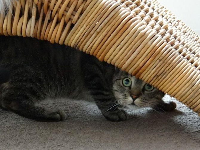 Стресс или ремонт может являться причиной, по которой кот прячется