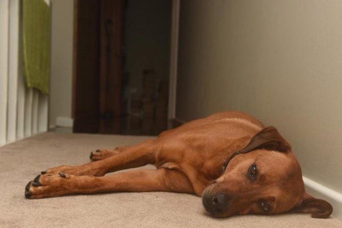 стресс у собаки симптомы