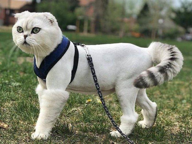 Стрижка кота под пуделя