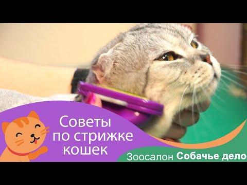 Стрижки для шотландских вислоухих кошек
