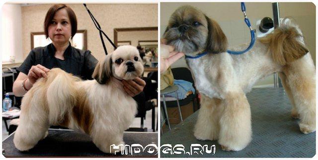 Стрижки для собак пороы ши тцу, виды стрижек, особенности граминга, как правильно ухаживать за шерстью животного самостоятельно и при помощи салонов.