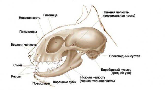 Строение черепа кошки