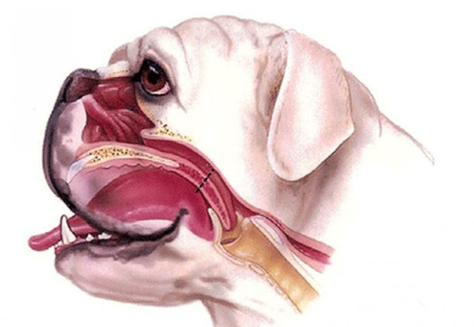 Строение черепа у брахицефальной породы
