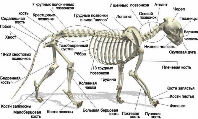 Строение кошачьего скелета