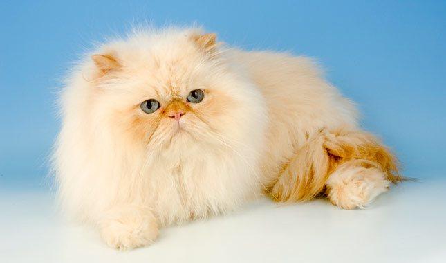 строение ушей кошек