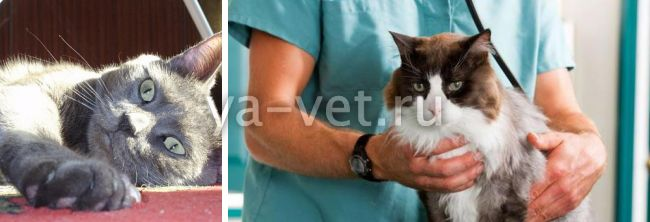 судороги у кошки причины