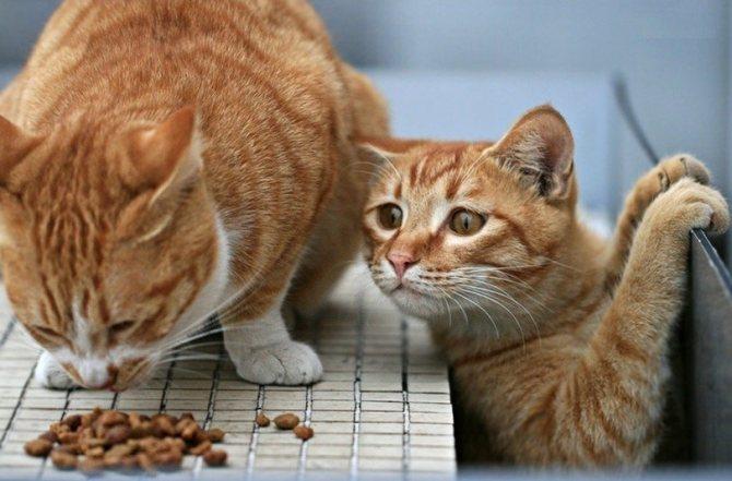 Сухие корма Акана можно скармливать стерилизованным животным