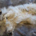 Сваленная шерсть у кота