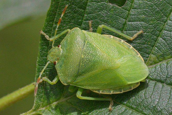 Светло-зеленый щитник