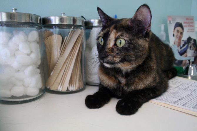 свищ у кошки как лечить