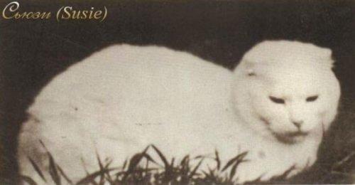 Сьюзи — родоначальница шотландских кошек