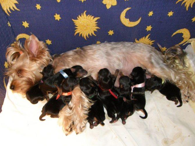 Таблица течения беременности по дням у чихуахуа: особенности родов у собак