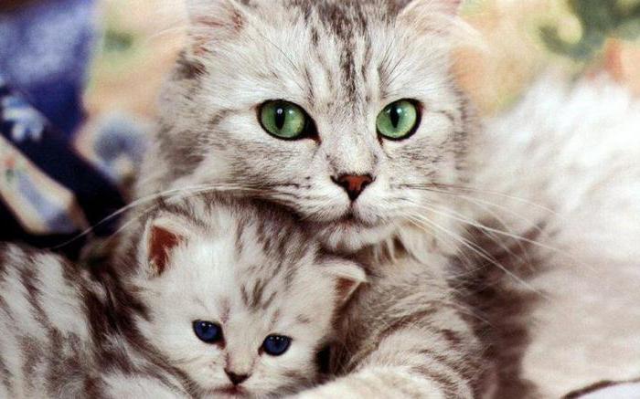 таблица возраст кошки по человеческим меркам