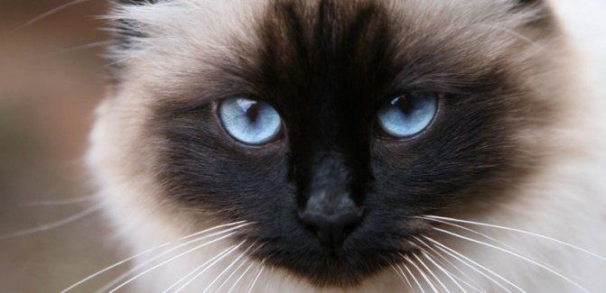 Таинственный взгляд и мордочка бирманских кошек