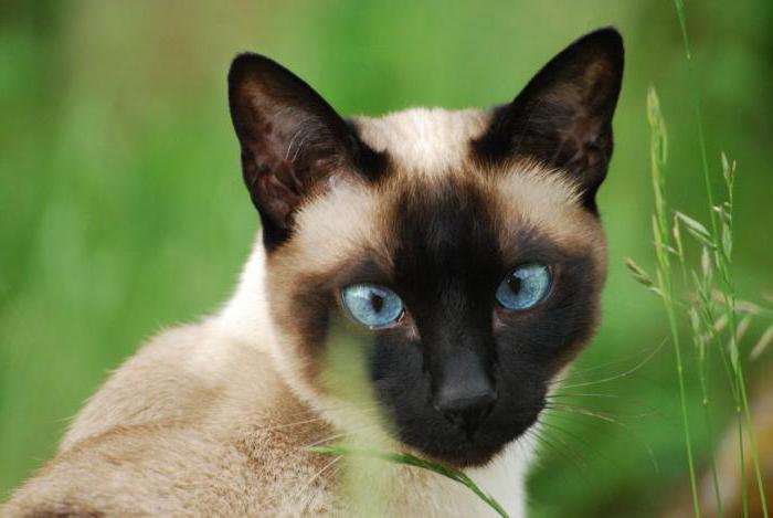 тайская и сиамская кошка отличия