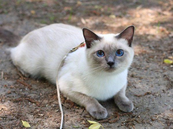 Тайские кошки отличаются хорошим здоровьем