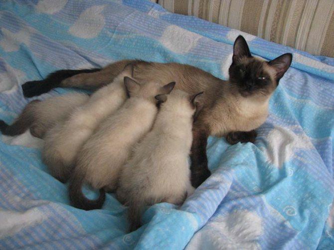 Тайские котята: питание