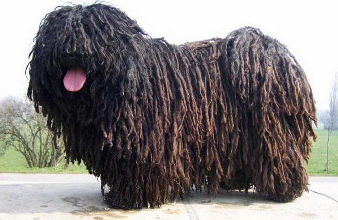 так выглядит черная собака пули