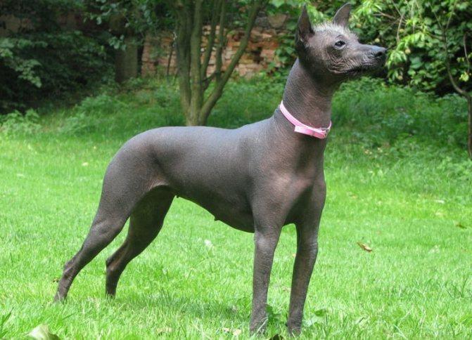 так выглядит порода Перуанская голая собака