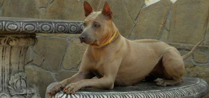 так выглядит собака породы тайский риджбек