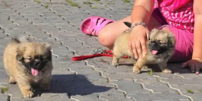 так выглядят щенки породы тибетский спаниель