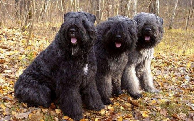 так выглядят собаки породы фландрский бувье