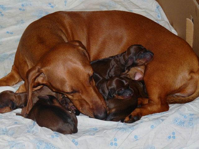 Такса со щенками