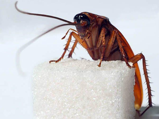 Таракан даже может жить без головы, но недолго
