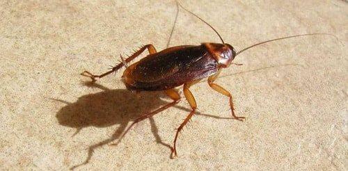 Таракан может проникнуть в ухо