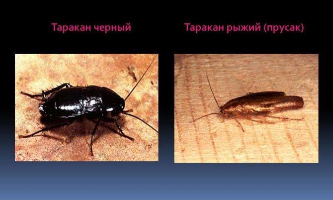 Тараканы которые не умеют летать