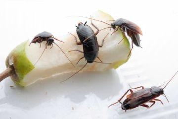 тараканы на яблоке