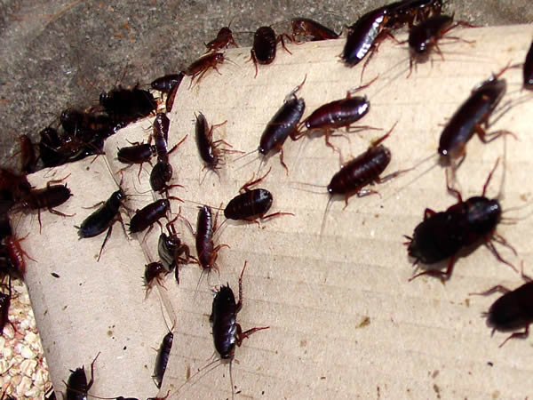 тараканы - неприятные сожители