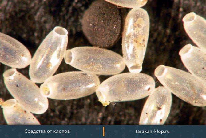Таран не действует на яйца и личинки