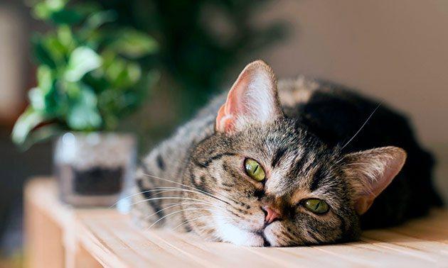 Таурин для кошек — вред и польза