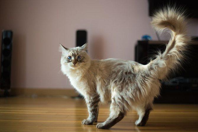 Течка у кошек по этапам