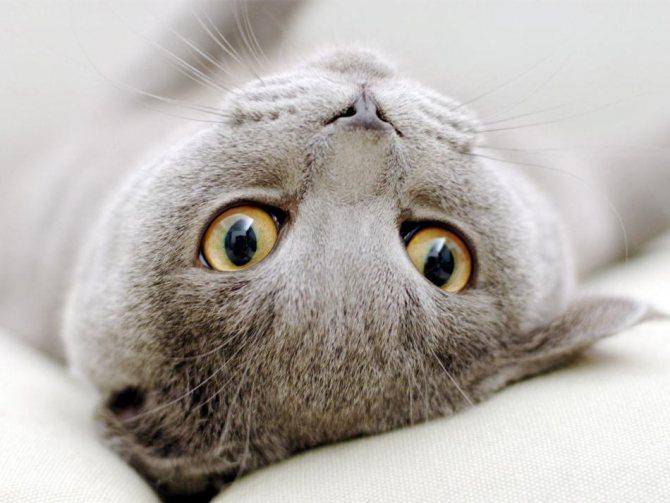 Течка у вислоухих кошек