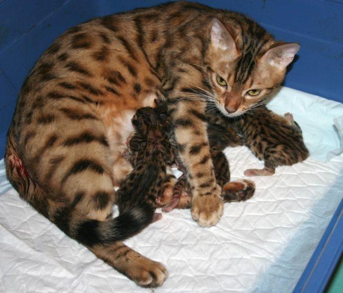 Тело кошки позволяет прижавшимся к нему котятам поддерживать оптимальную температуру