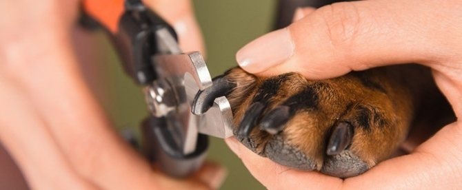 Темные когти не позволяют рассмотреть начало пульпы и отмерить расстояние до нее
