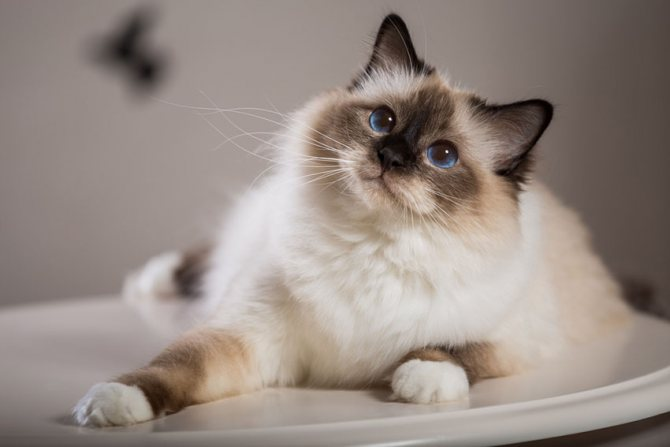 Темперамент балинезийской кошки