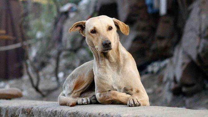 Тихая форма бешенства у собак