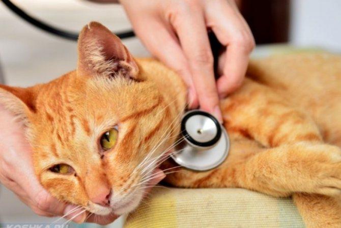 Точно микоплазмоз сможет выяснить только опытный ветеринар