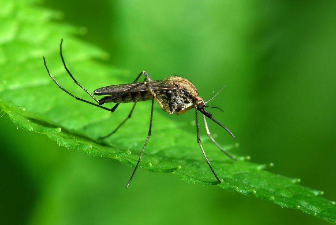 Топ 10 кровососущих насекомых