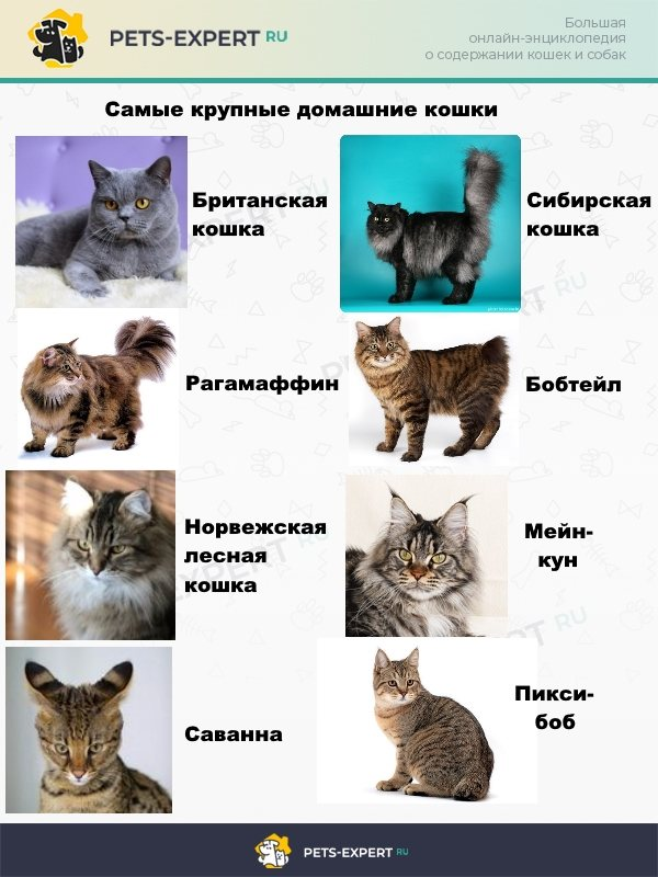 Топ-8 самых больших домашних кошек